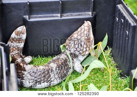 Blue-Tongue lizard with a stocky body and patterned scales in a box with generic green vegetation.