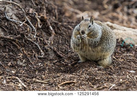 Giant squirrel feeding on plants in forest.
