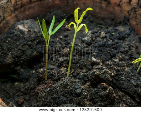 Young seedlings are grown in pots in the morning like life are emerging.