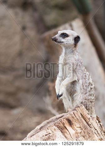 smart funny furry gray-brown meerkat standing on a rock on his hind legs and looks
