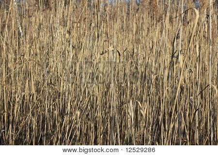 Cane Brake On A Pond In Winter