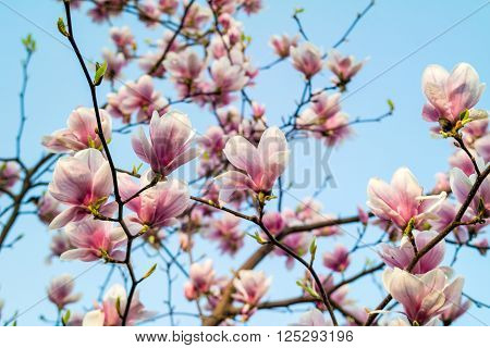 Magnolia tree blossom. Blossom magnolia branch against blue sky. Magnolia flowers in spring time. Pink Magnolia or Tulip tree in botanical garden.