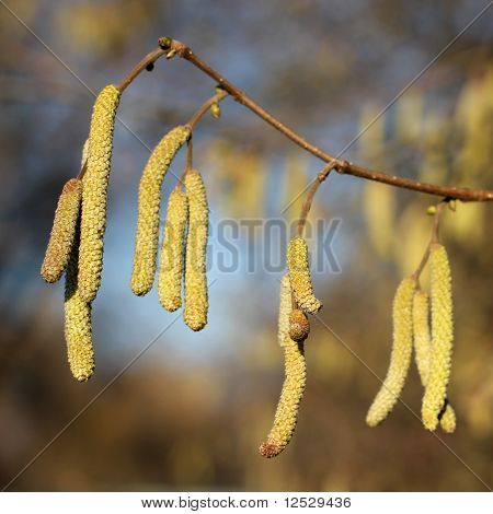 Male Catkins Of Common Hazel