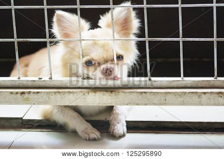 Pitiful Small  Chihuahua Dog Sitting In Cage