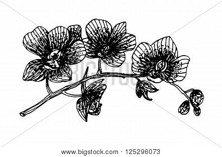 Blooming orchid phalaenopsis garland branch graphics shading ink sketch vector illustration
