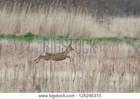 European roe deer doe (Capreolus capreolus) bounding across a meadow.
