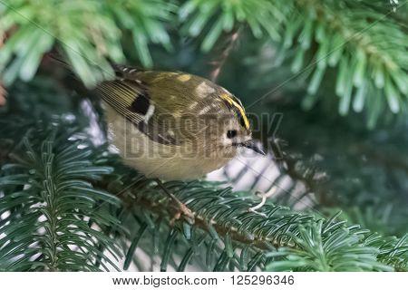 Goldcrest (Regulus regulus) foraging in a fir tree.
