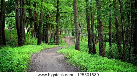 Road in a mysterious green deciduous forest in summer