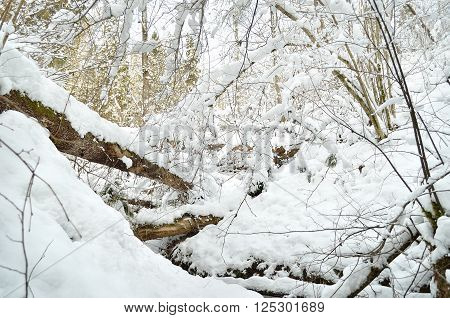 Winter wonderland. Snowcovered deciduous forest with old fallen trees.