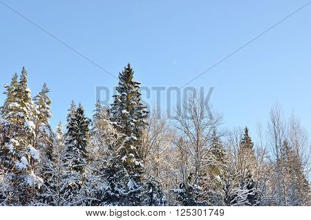 Winter pine forest landscape. Snowcovered trees against blue sky.