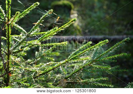 Spider's web on a small fir tree in morning light