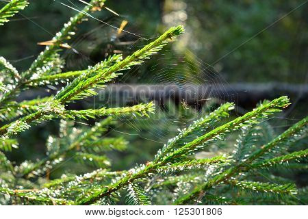 Spider's web on a fir tree branches in the early morning