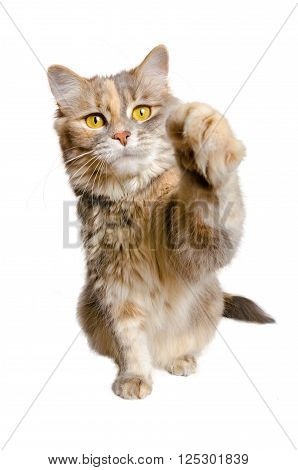Calico cat with paw raised on a white background
