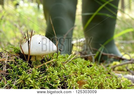 Small white mushroom in beautiful moss in the forest. Mushroom picker's rubber boots in background