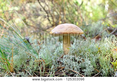 Small mushroom in the forest. Fungus growing in moss and grass.