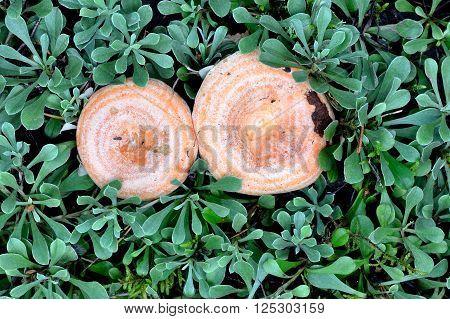 Orange Lactarius mushrooms in dense dark green forest vegetation