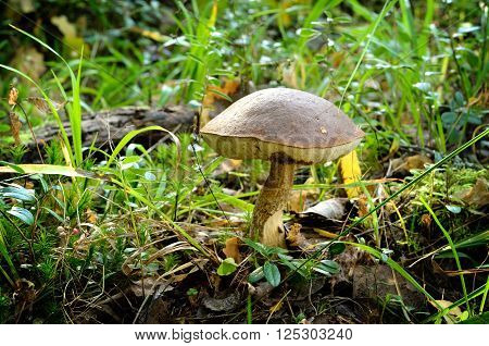 Leccinum scabrum birch fungus in the forest. Edible mushroom in green grass and moss.