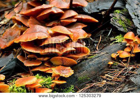 Orange fungi on a tree stump. Flammulina velutipes mushrooms.