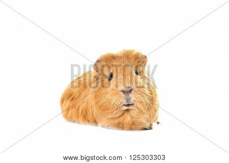 a cavy looking on a white background