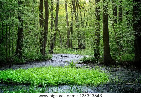 Forest swamp landscape. Green spring trees and lush vegetation in a wood.