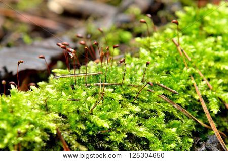 Green moss Polytrichum commune close-up in the forest