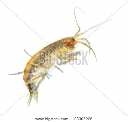 Gammarus Pulex Laboratory Model Organism Isolation On White Background