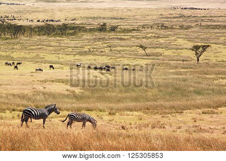 Two zebras on sunny meadow of Serengeti National park
