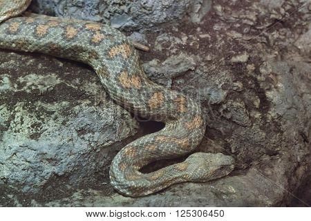 Turan blunt-nosed viper (Macrovipera lebetina turanica). Wild life animal.
