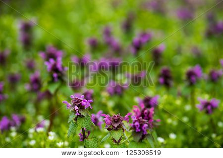 Beautiful field mauve wildflower in grass on natural light