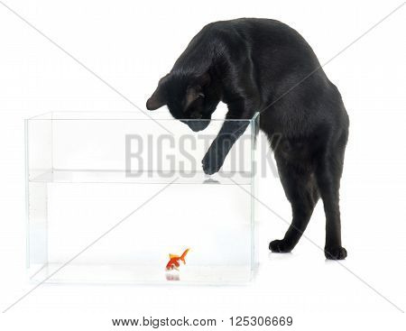 red goldfish and black cat in front of white background