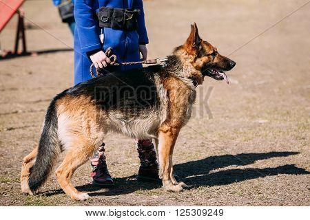 Brown German Shepherd Dog Near Woman Feet. Alsatian Wolf Dog. Outdoor