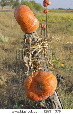 In the picture pumpkin impaled on a wooden stick. And put up for sale along the edge of the field where they were grown. The picture was taken in autumn in Ukraine.