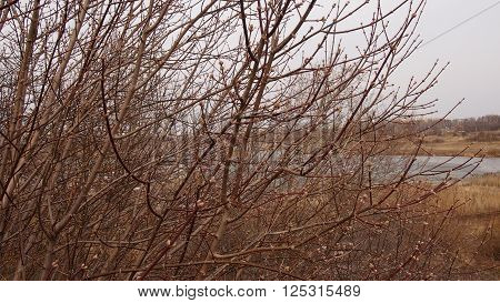 bush branches in the early spring with the bulked-up kidneys
