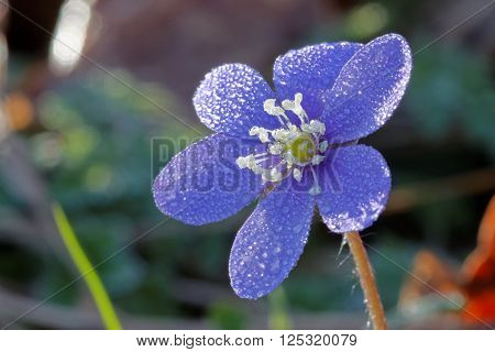 Closeup of blue anemone covered with water drops (latin: hepatica nobilis). Short depth of focus