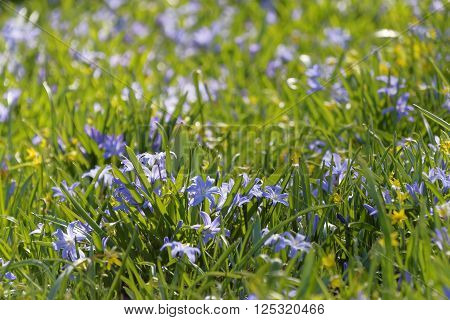 Spring flower Scilla luciliae and green grass a sunny day during spring