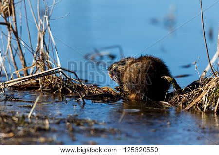The muskrat Ondatra zibethicus is a fairly large rodent commonly found in the wetlands and waterways of North America.