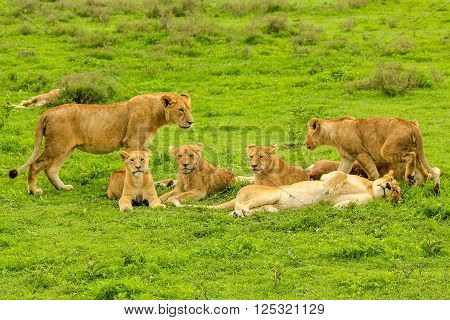 herd of lions with puppies laying on a grass plain savannah of the Serengeti National Park, Tanzania, Africa. Panthera Leo