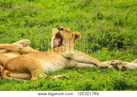 A lion laying and licking clean at sunset on a grass plain of the Serengeti National Park, Tanzania, Africa. Panthera Leo