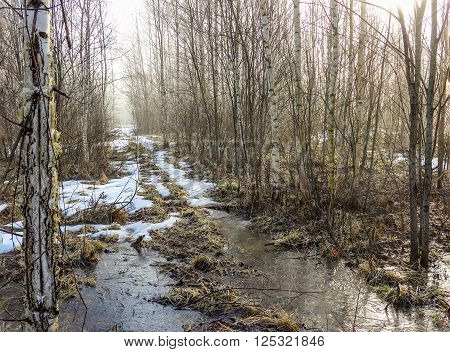 The forest road in a young birchwood is covered with yet not thawed snow and the pool covered with morning ice from thawed snow.