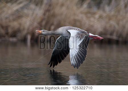 Greylag goose in flight over water in its habitat