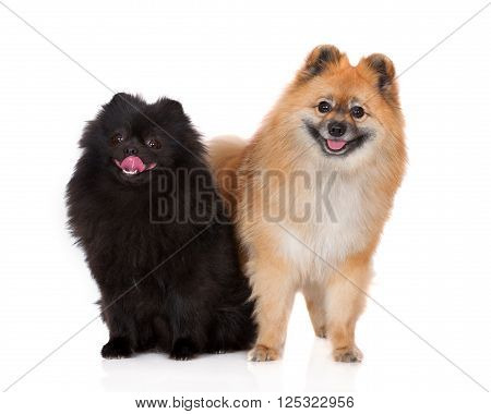 black and red spitz dogs posing together on white