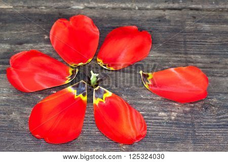 Red tulip petals, one petal out of flower form