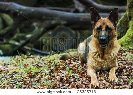 Active German Shepherd Dog Outdoor In Forest