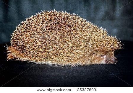 Hedgehog sleeping on black background in studio