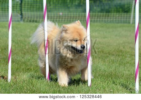 Chow Chow Weaving Through Poles at a Dog Agility Trial