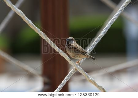 Sparrow male stands on two crosswise ropes and turns back