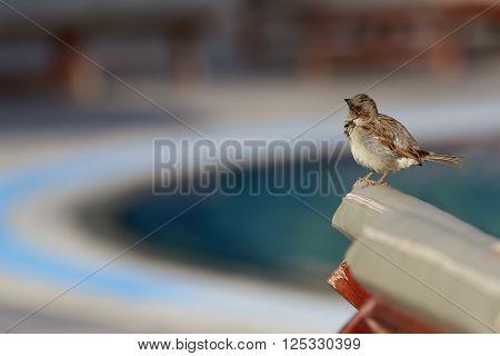 Single fatty sparrow sits on a chise-longue
