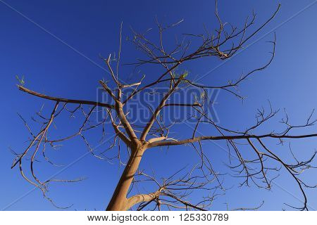 Naked dry african acacia tree against the clean blue sky