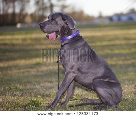 Gray purebred Great Dane sitting on the grass