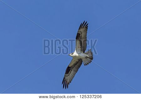 Osprey in sky. An osprey in north Idaho soars up in the clear blue sky.